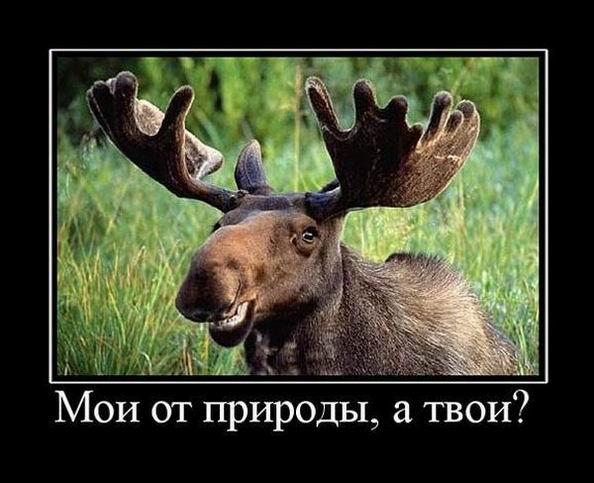 Мои рога от природы, а твои?