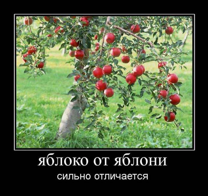 Яблоко от яблони сильно отличается