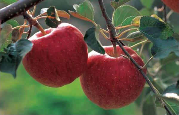 Мама была права насчет яблок