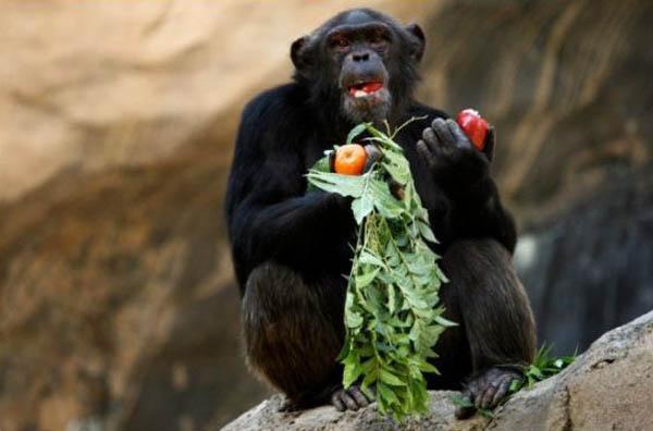 Шимпанзе знают толк в запретных плодах