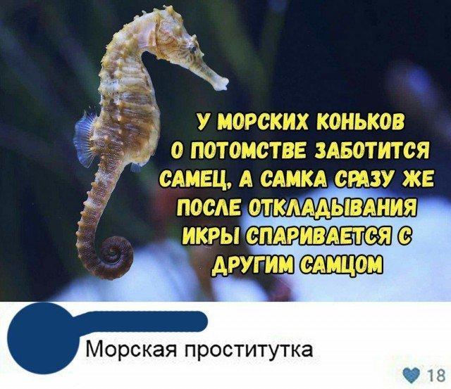 У морских коньков о потомстве заботится самец