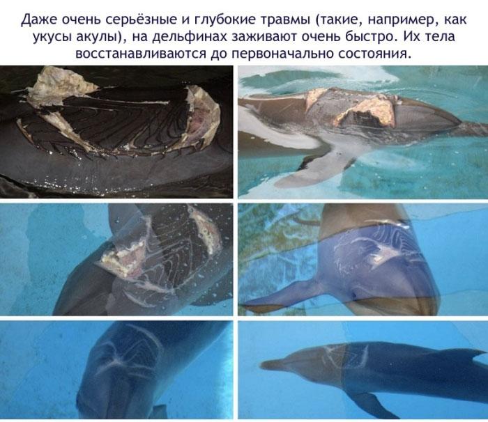 Серьёзные и глубокие травмы на дельфинах заживают очень быстро