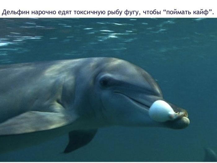 Дельфин нарочно едят токсичную рыбу фугу