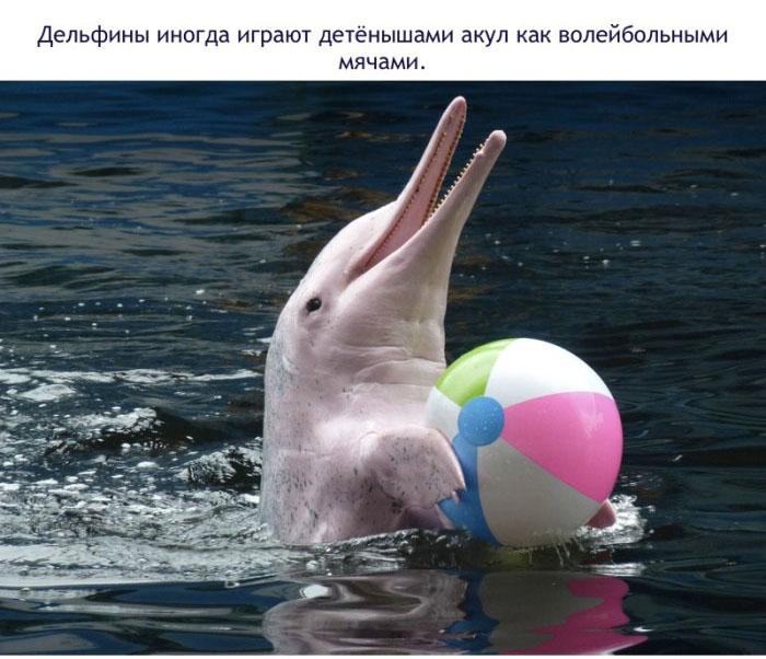 Дельфины иногда играют детёнышами акул