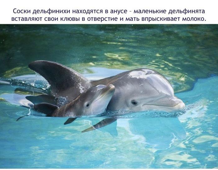 Соски дельфинихи находятся в анусе