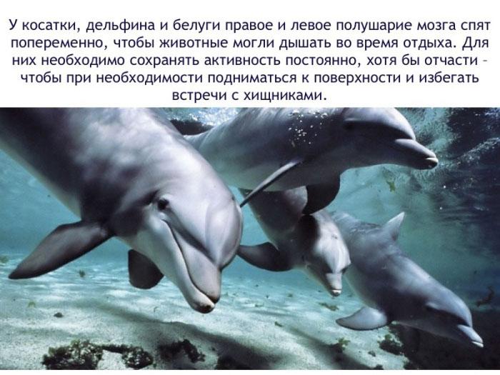 У косатки, дельфина и белуги правое и левое полушарие мозга спят попере