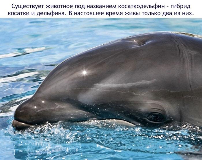 Существует животное под названием косаткодельфин