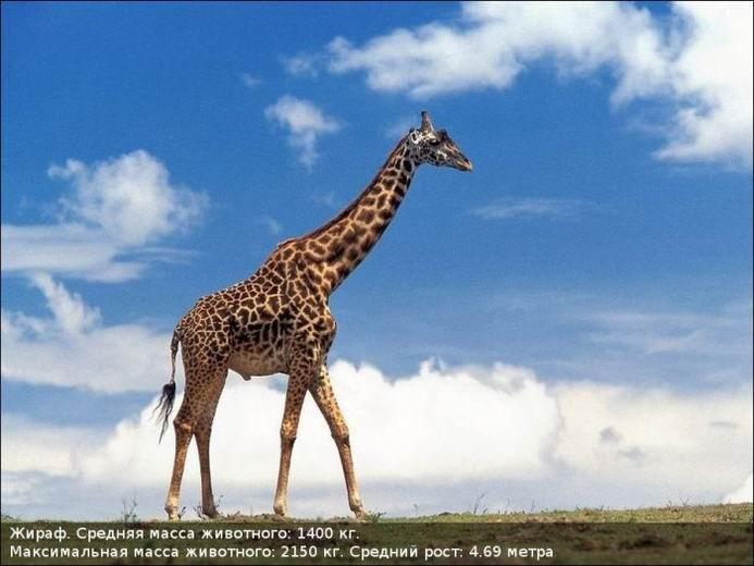 Огромные животные (10 фотографий)