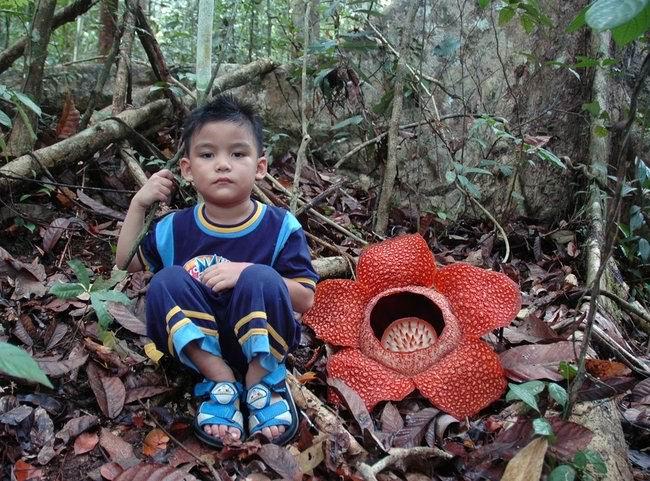 Чудо-цветок Раффлезия