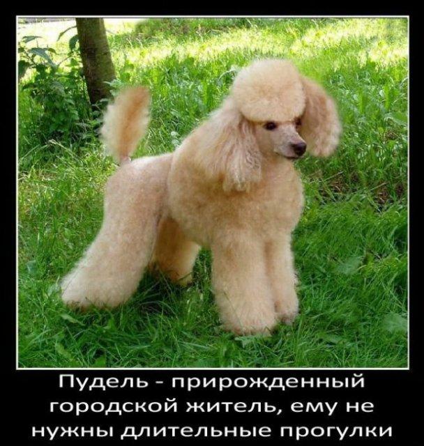 Интересные факты о собаках (48 фото)