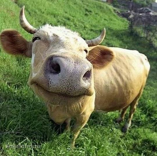 Пост про коров