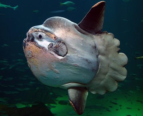 Самая тяжелая рыба в мире