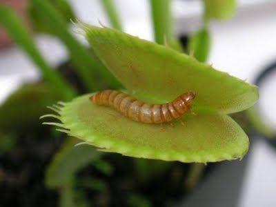 Самые жуткие растения планеты Земля (53 фото), photo:28