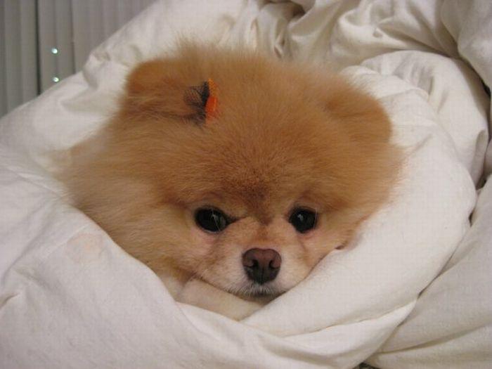 Бу Собака которая всем нравится