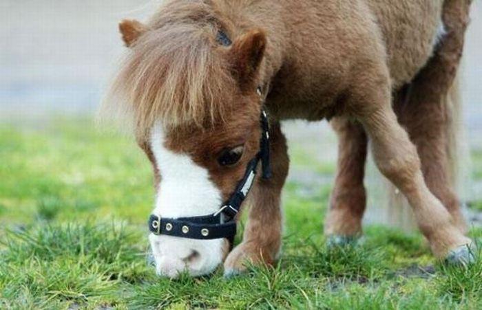 Позитив дня: Карликовая лошадь Koda (10 фотографий)
