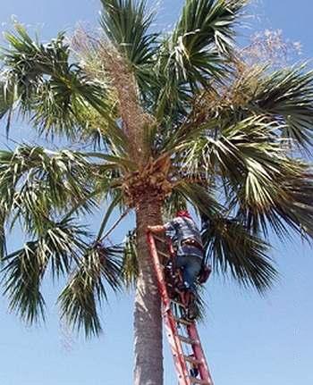 Специалист по обеспечению безопасности кокосовых пальм