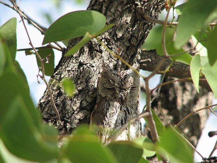 Найди сову (34 фото)