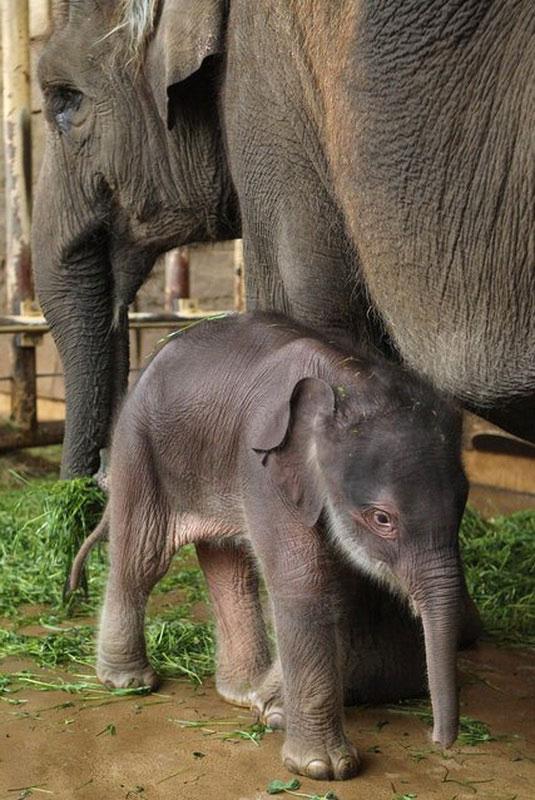 Позитив дня: Новорожденный слоненок в зоопарке Берлина (8 фото)