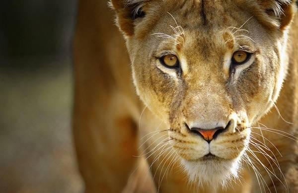 На арене выступают дрессированные львы