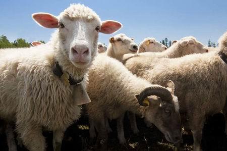У Ахмеда десять овец